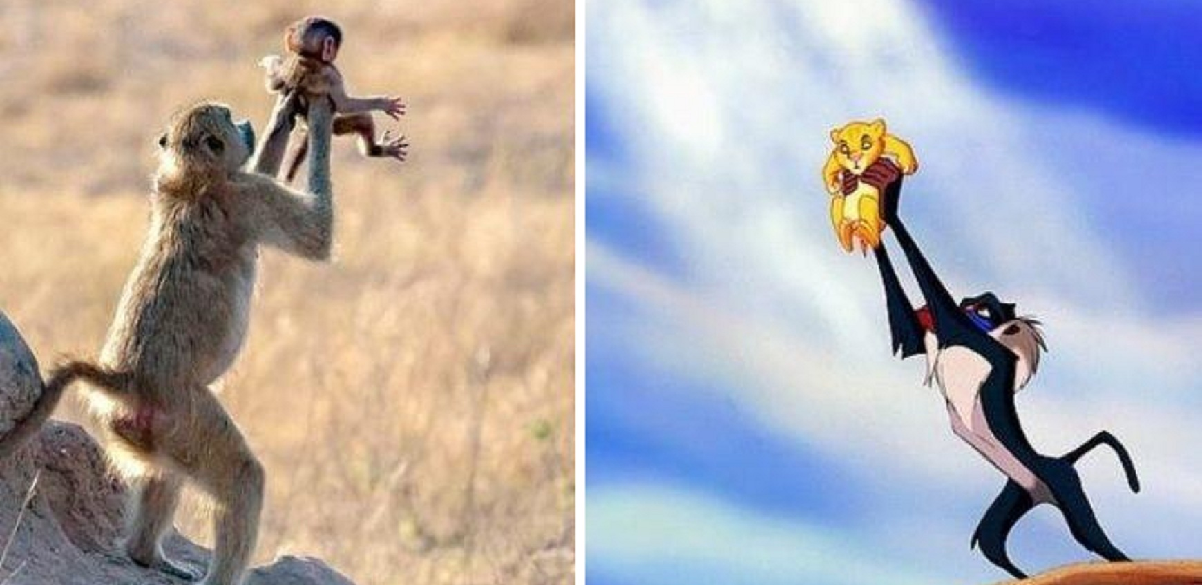 Just Like the Iconic Scene from 'The Lion King', Monkey Holds Baby Up in the Air!